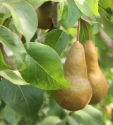 It's a Pear-Palooza!