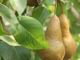 It's a Pear-Palooza!