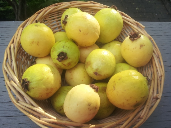 ripe and fragrant Mexican guavas