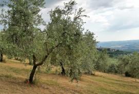 Umbrian olive grove