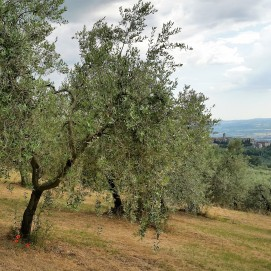 Umbrian olive grove